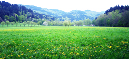 dandelion-meadow-blackforest-germany